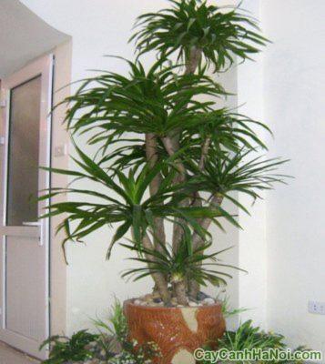 cây đại lộc