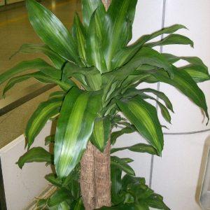 cây thiết mộc lan gốc