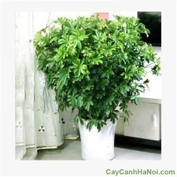 cây ngũ gia bì