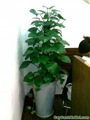 Cây vạn niên thanh thích hợp trồng trong nhà và văn phòng