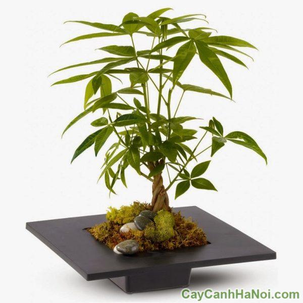 cho thuê cây để bàn