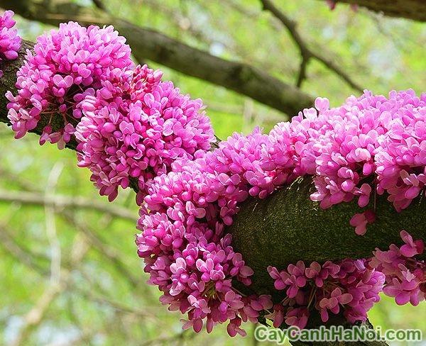 hoa hạnh phúc