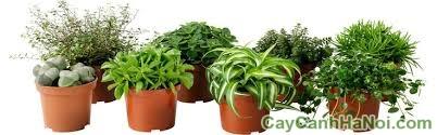 chăm sóc cây trồng trong chậu