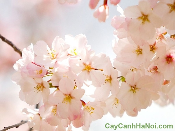 cho thuê cây hoa anh đàocho thuê cây hoa anh đào