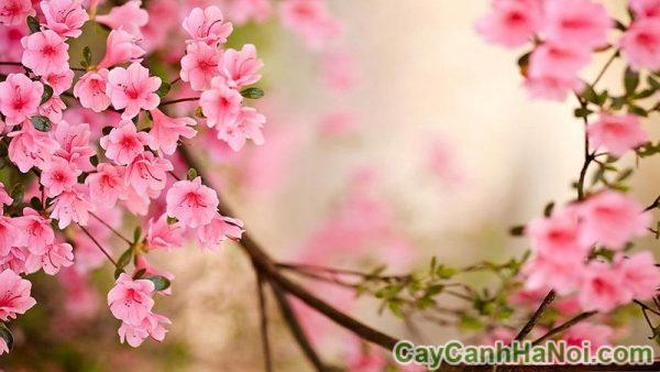 cho thuê cây hoa anh đào