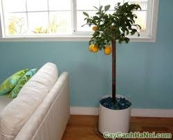 cho thuê cây xanh