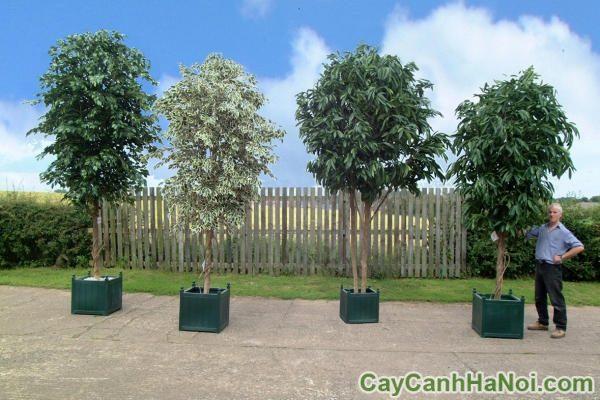 dịch vụ cho thuê cây cảnh