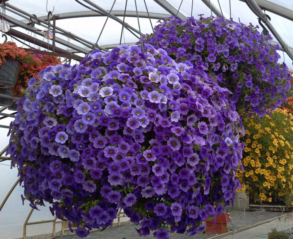 hoa triệu chuông